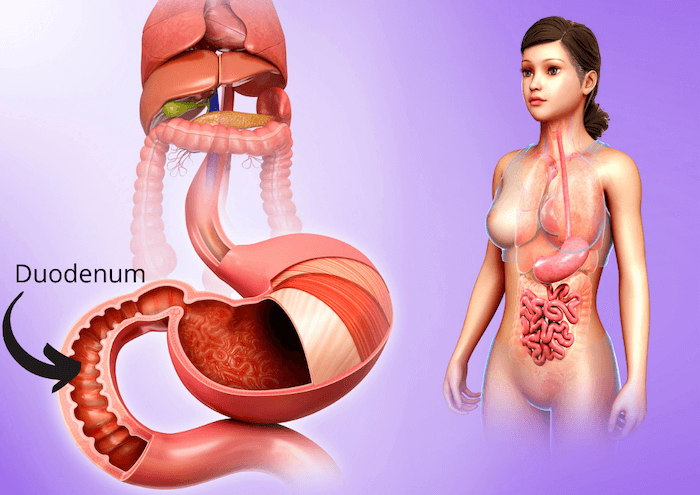 3d diagram showing where the duodenum is within the human body