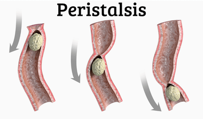 peristalsis graphic showing how it moves